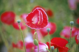 Magazine - Poppies