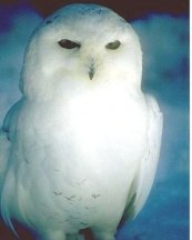 Magazine - Owl white