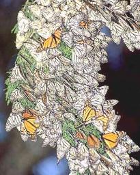 Magazine - Butterflies
