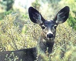 Magazine - Deer